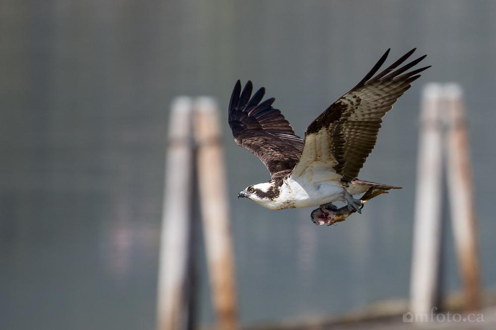 osprey-salmon-arm-2489.jpg