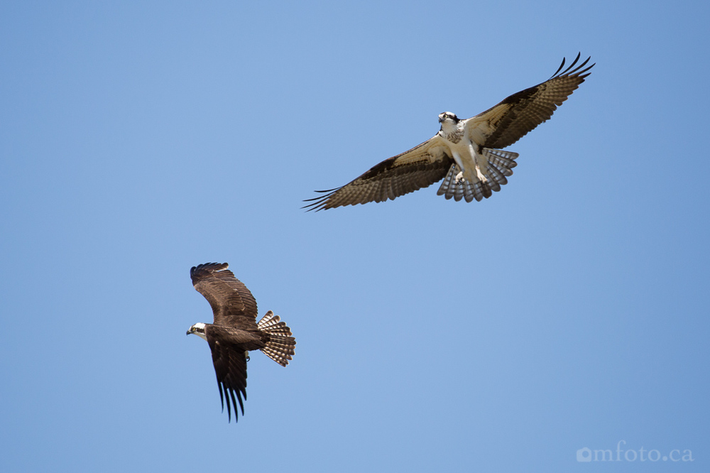 osprey-salmon-arm-2531.jpg