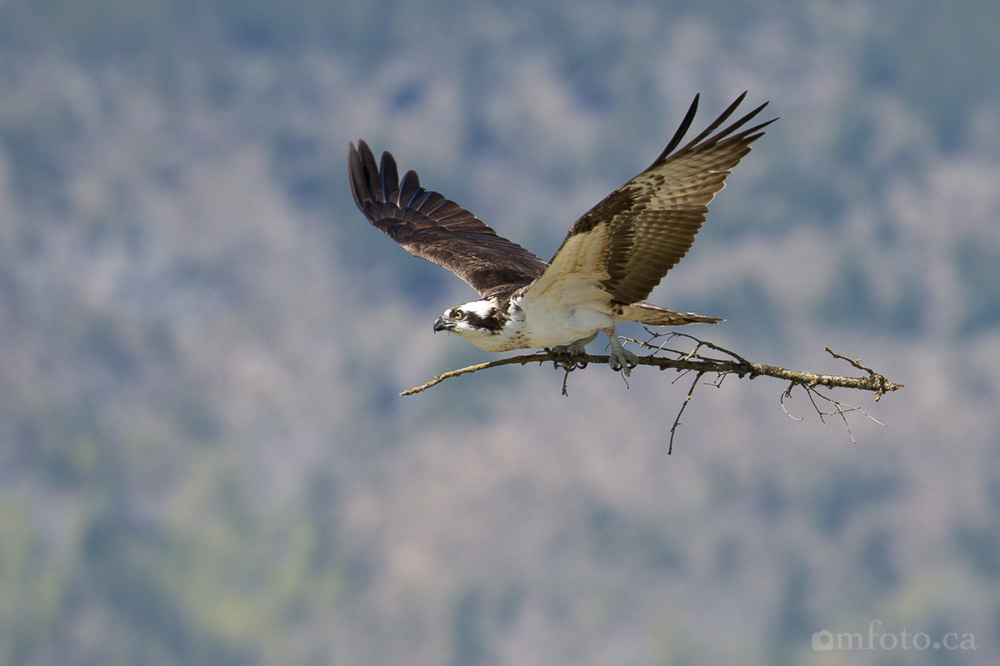 osprey-salmon-arm-2616.jpg