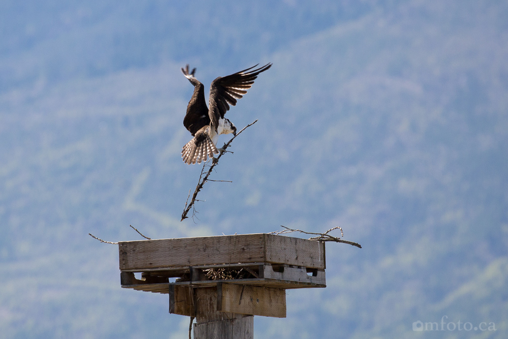 osprey-salmon-arm-2628.jpg