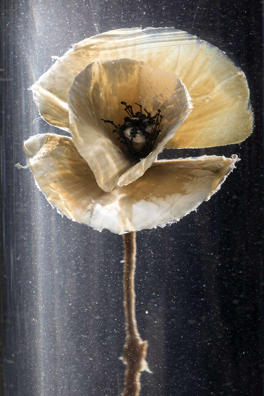 Papaver Rhoeas. Lamb's heart tissue, glass, water. 2015  The Alexander Fleming Laboratory Museum, London