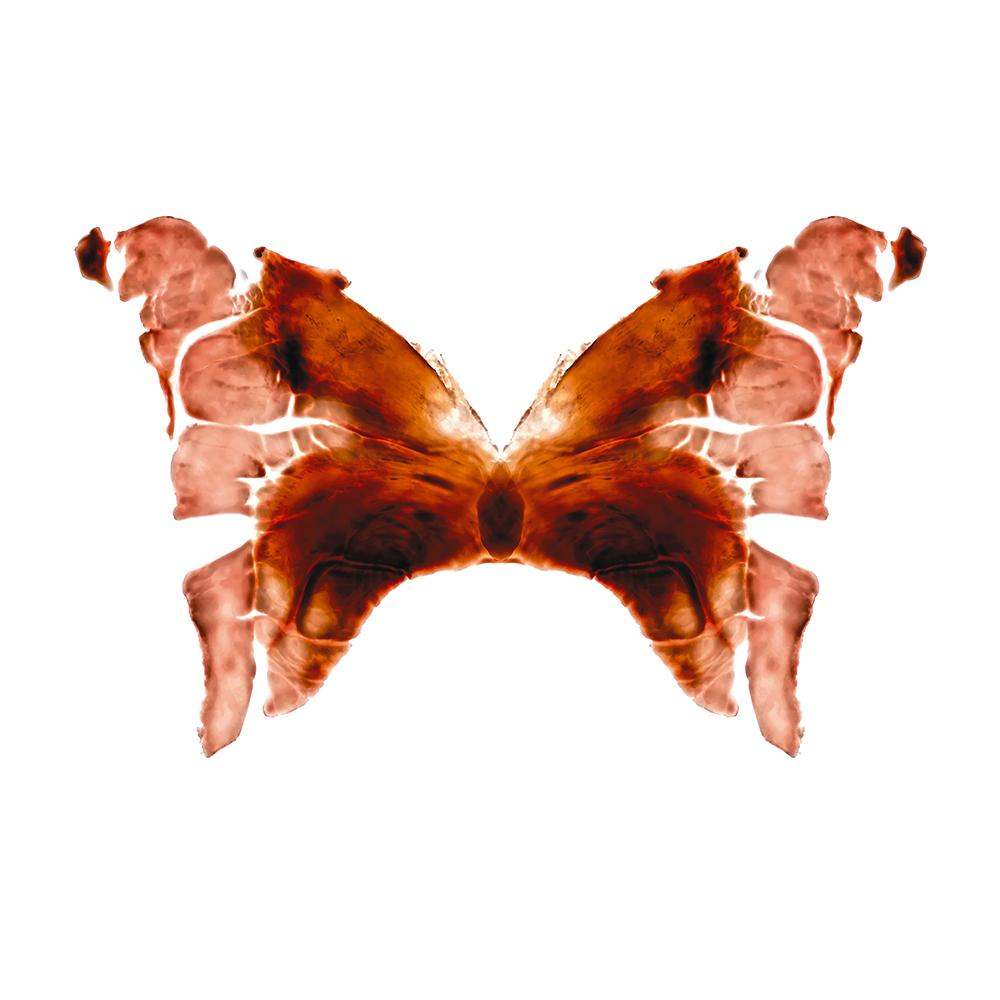 11. Rhopalocera ūnus.jpg