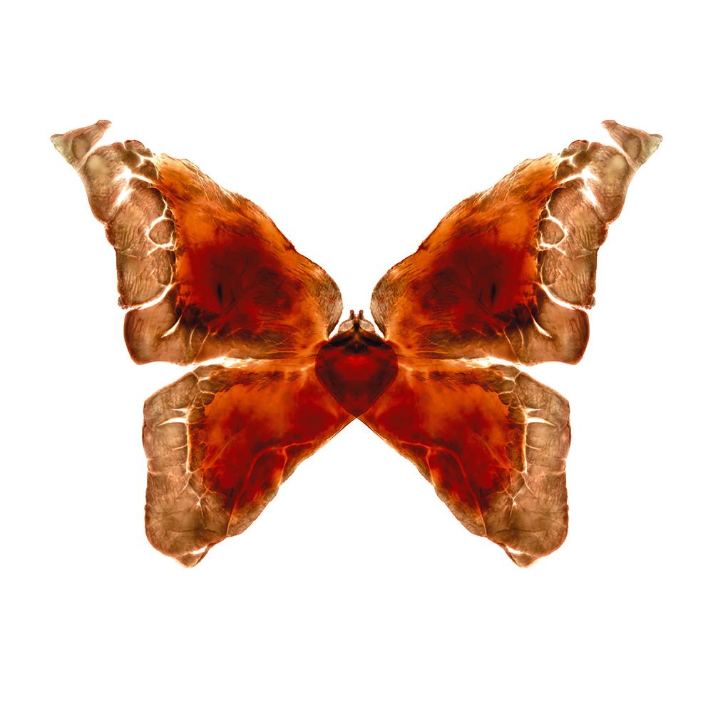 14. Rhopalocera quattuor.jpg