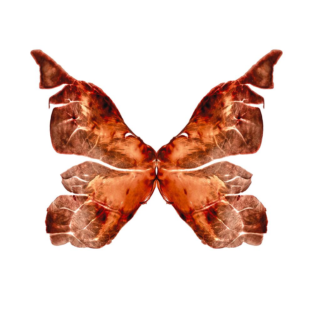 15. Rhopalocera quīnque.jpg