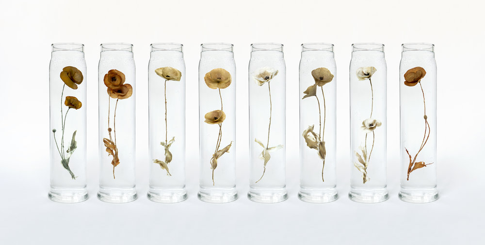 Papaver Rhoeas by Paddy Hartley.    Assembled Field Poppy specimens fabricated from lambs heart tissue in replica glass artillery shell cases. 2015