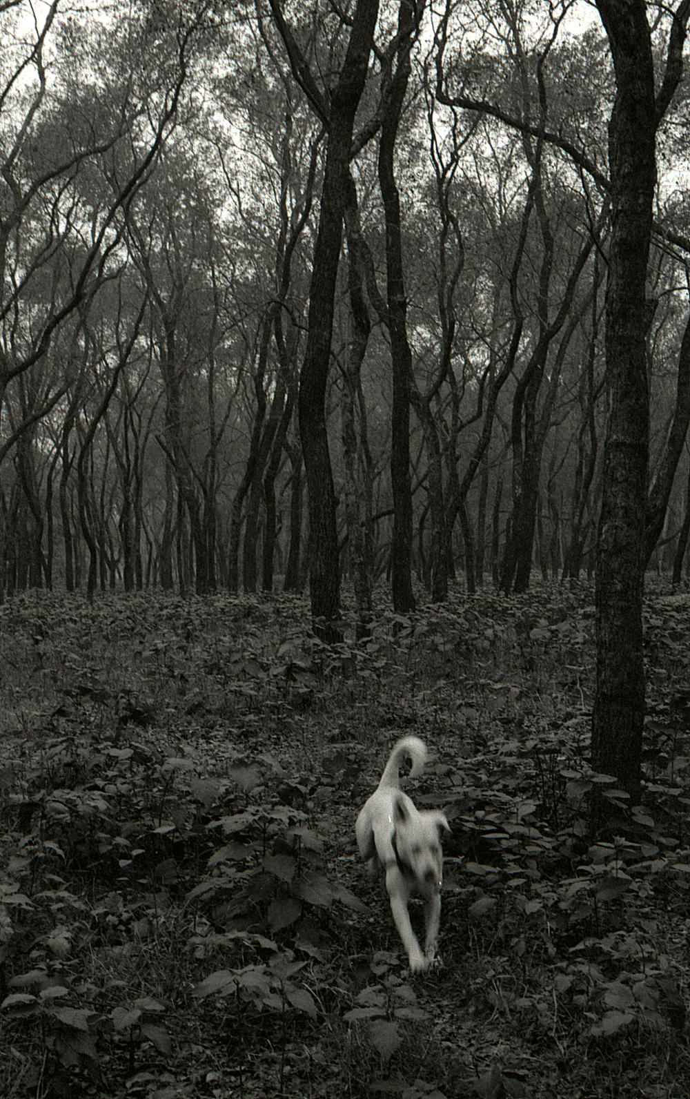 Orville running through the Queen's Forest, Kathmandu.