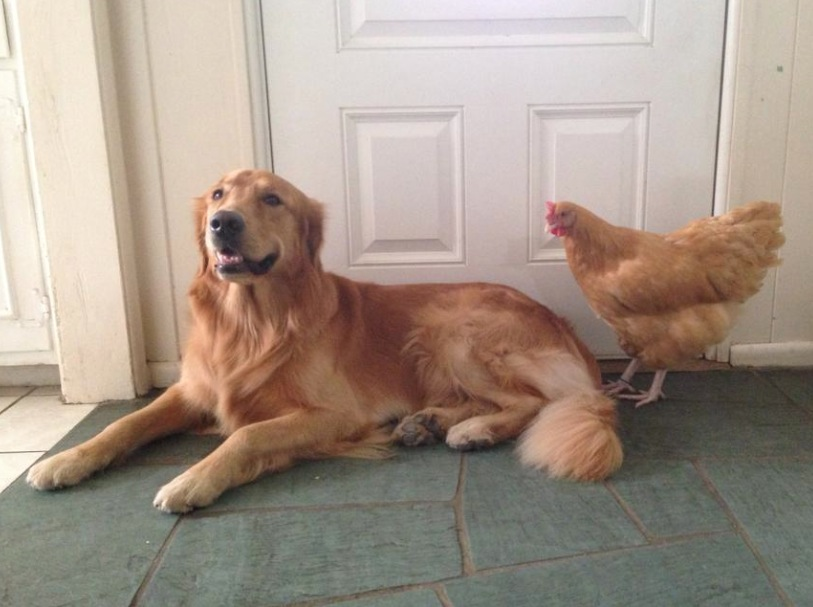 Colbie Bear the Golden with his pet chicken Rooki.