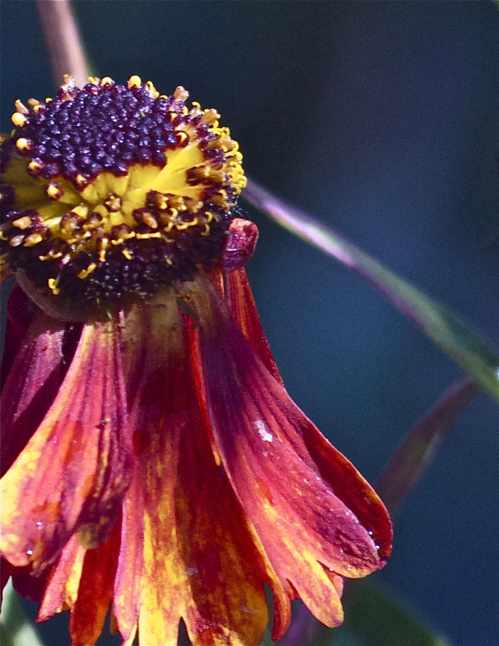 close up helenium in een natuurlijke tuin.jpg