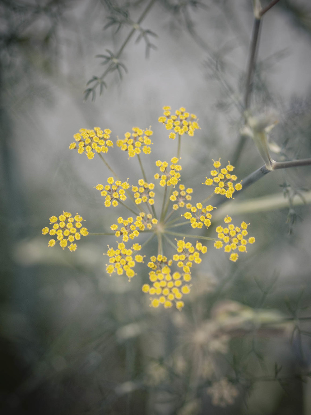 beplanting natuurlijke tuin foeniculum
