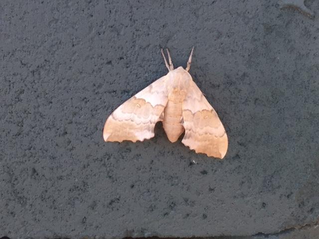 A pretty moth