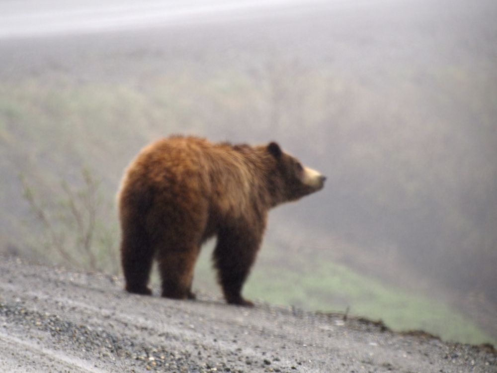 Actually saw a bear from the tourist bus. Didn't want to get closer than this