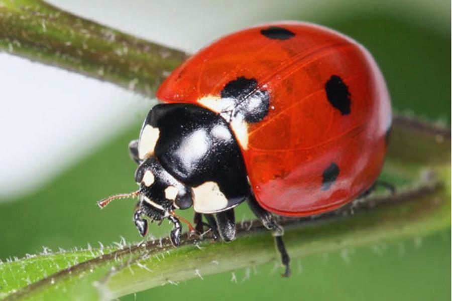 Ladybug001 copy.jpg