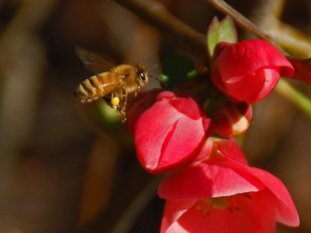 Beepollinator