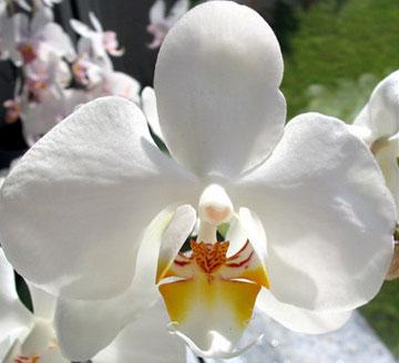 Phalaenopsis-de.jpeg