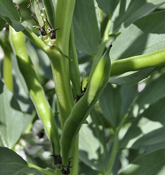 Fava Bean Pods