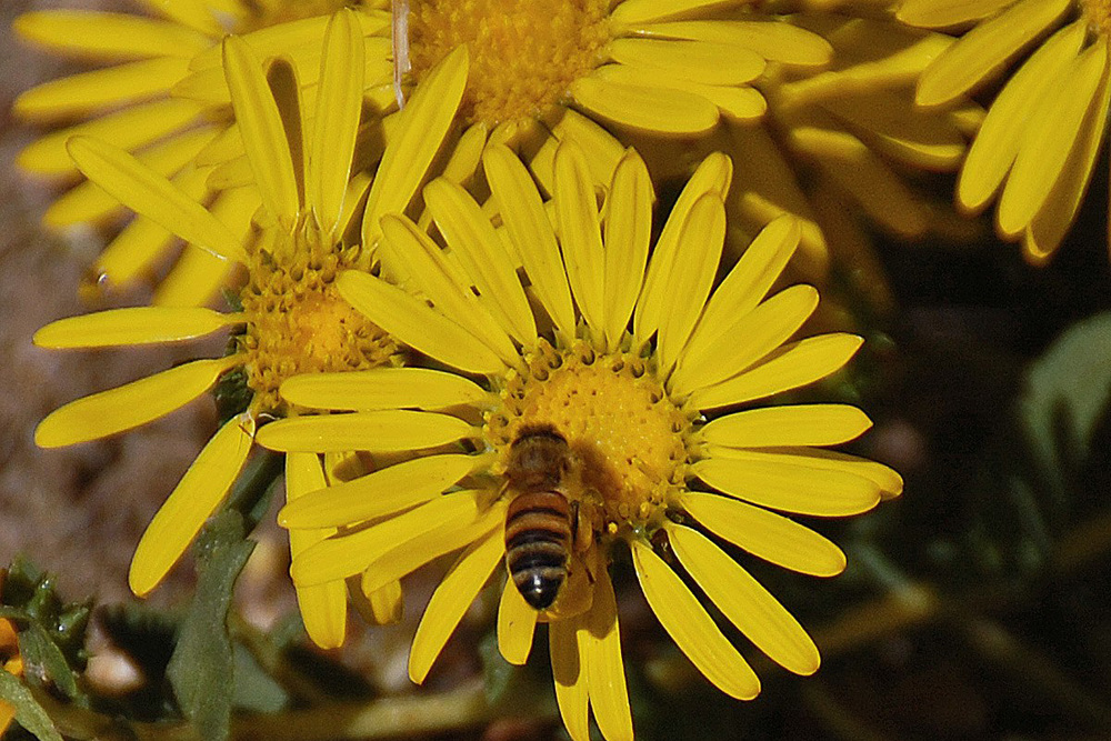 Gumplant flower