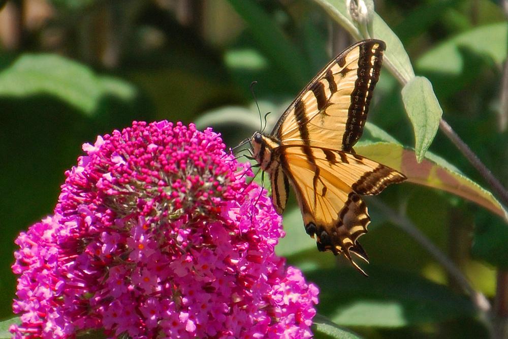 Butterfly bush & friend