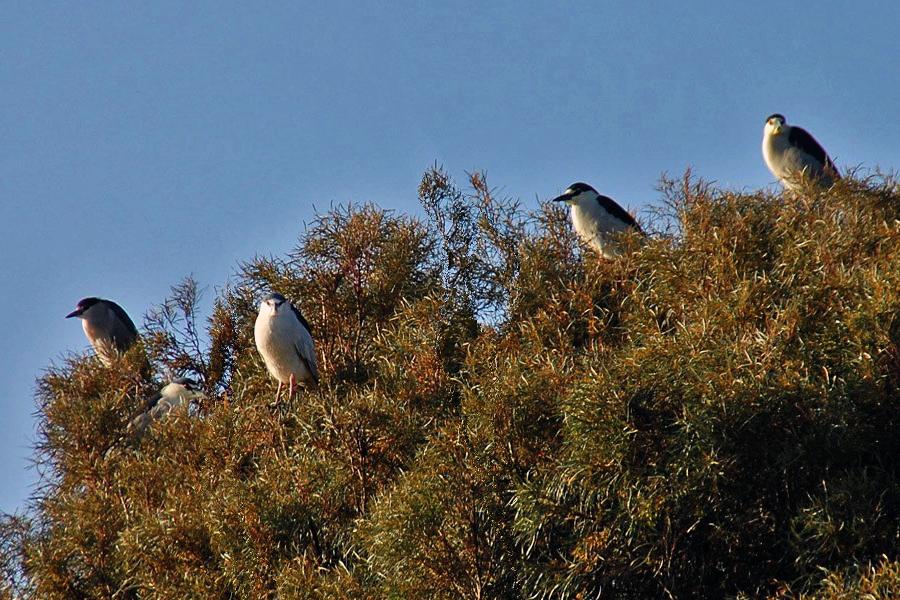 Treetop roosting