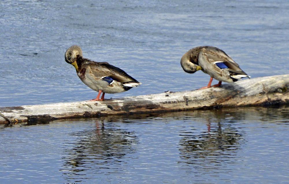 Teal winged ducks