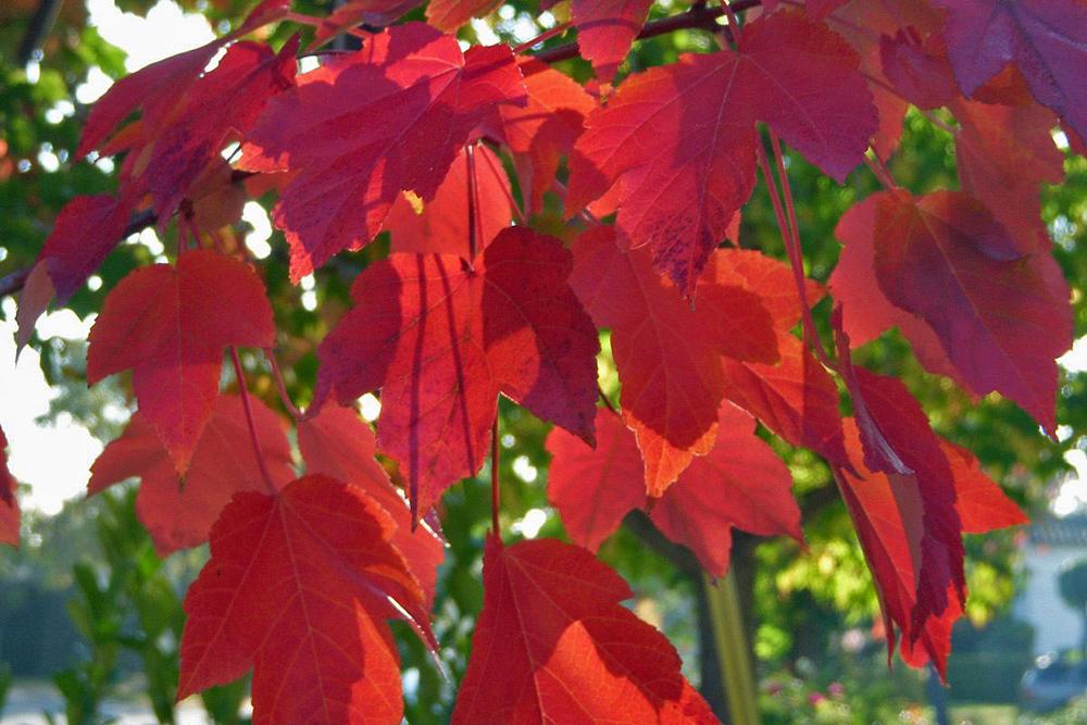 Fall Leaves5.jpg