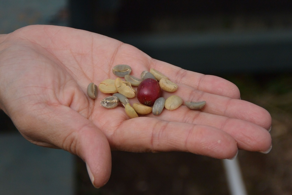 Coffee cherry, seeds, and peaberry bean