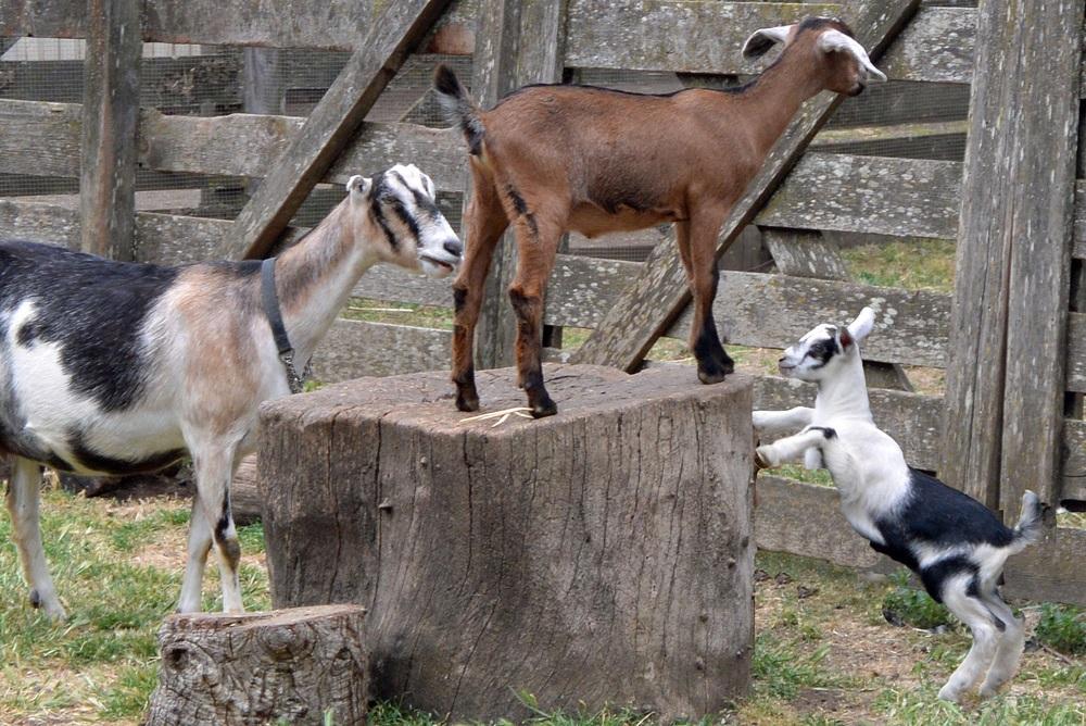 Deer Hollow Farm goats