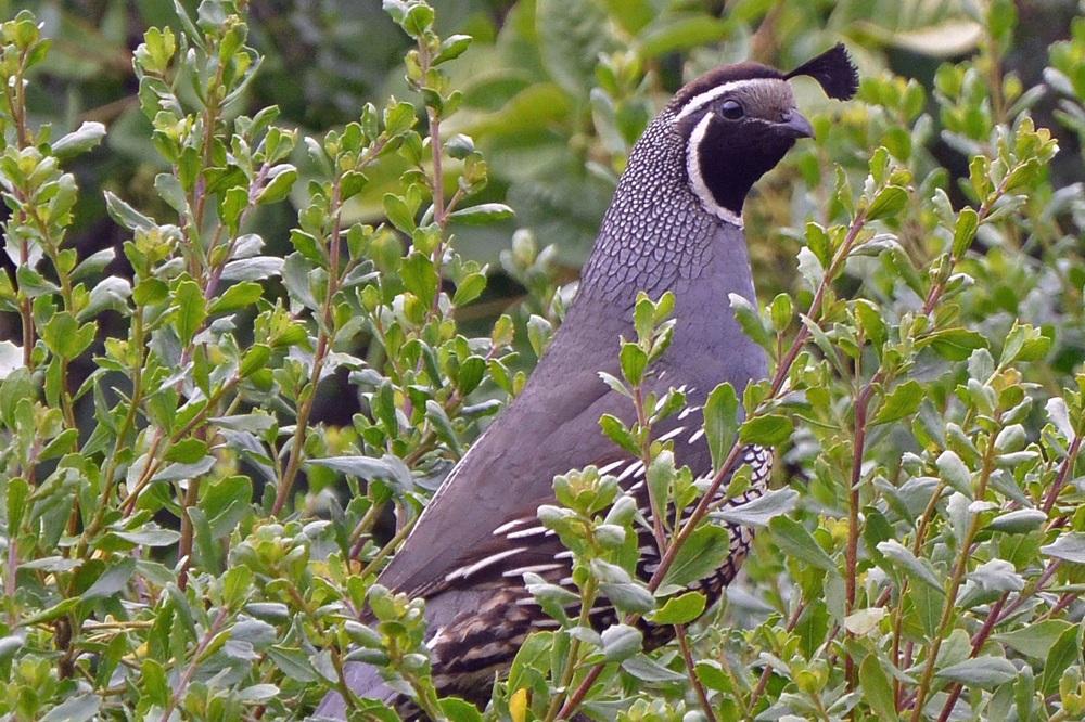 Alert mother quail