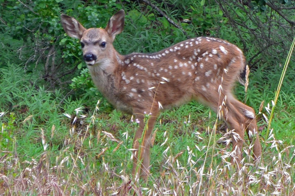 Spotted Bambi