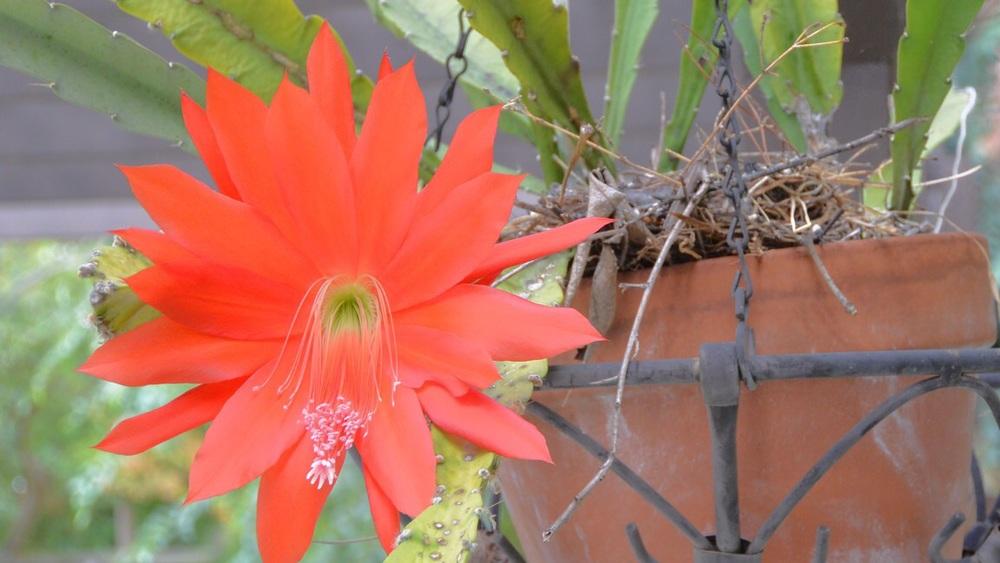 Cactus blossom celebration