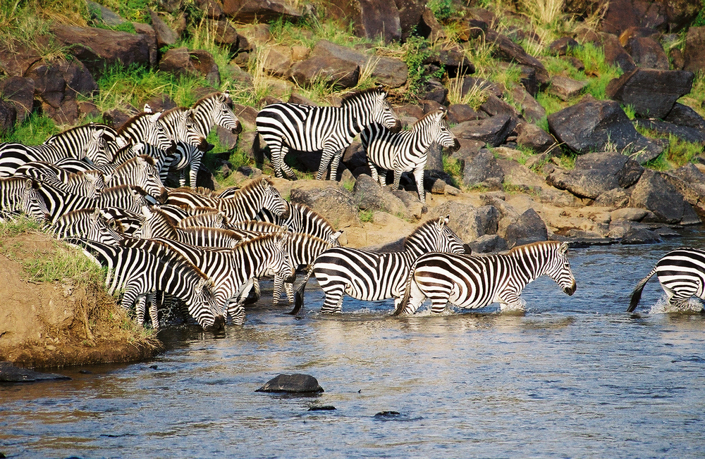 Zebras crossing river during migration