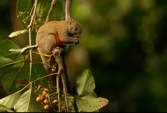 Himalayan Squirrel at Kalatop Sanctuary