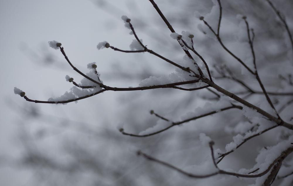Snow Buds.jpg