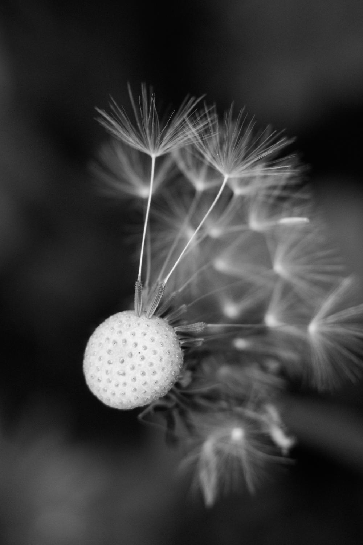 """dandelion"""