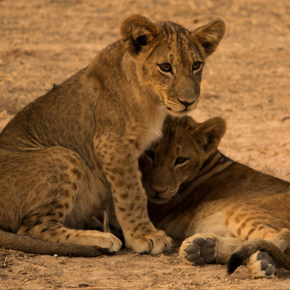 Zambia, Africa and its many wonders - includes lion cubs.