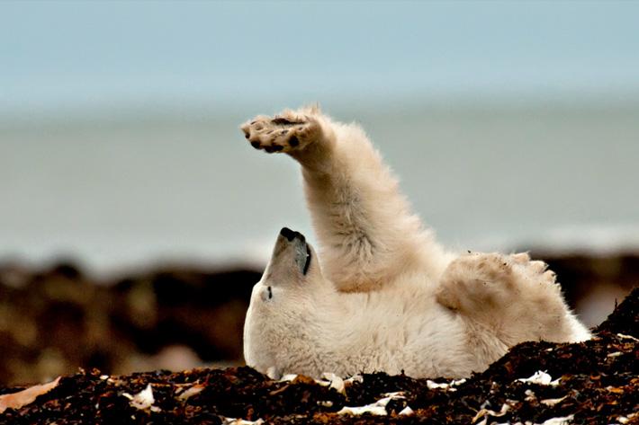 hudson bay canada polar bear