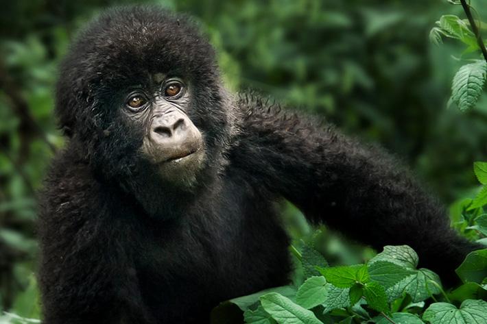 congo basin uganda gorilla