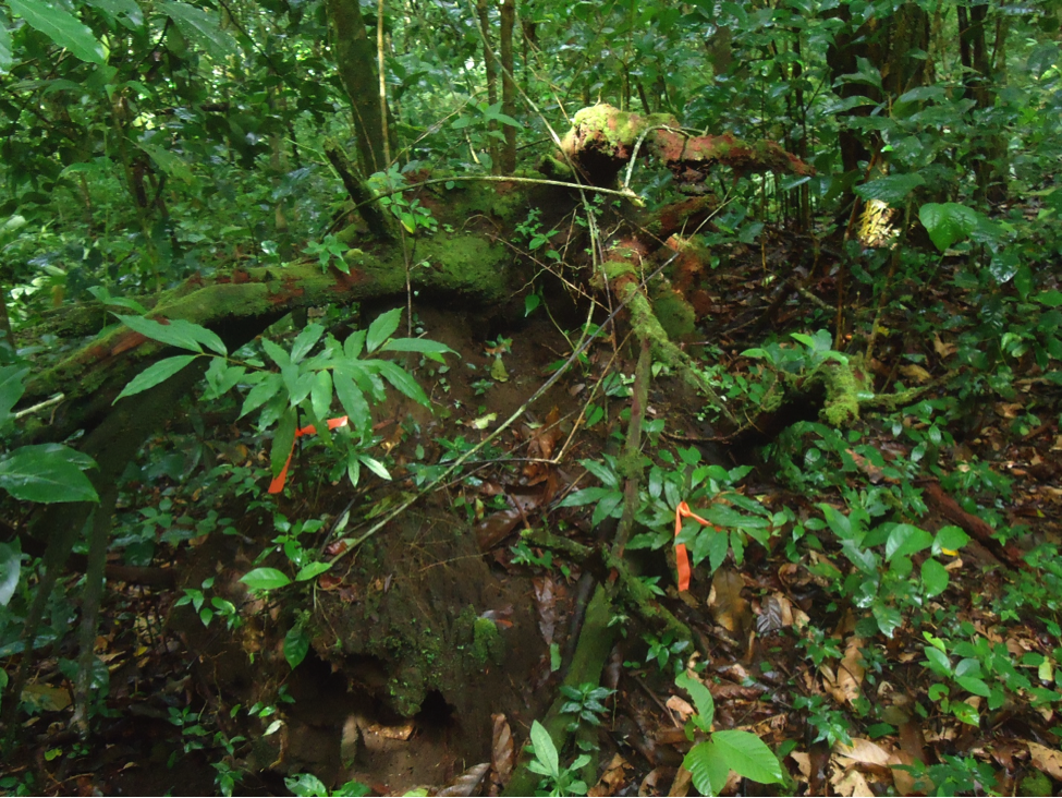 Two O. m. seedlings (orange flags) growing in soil exposed by upturned roots of fallen tree.
