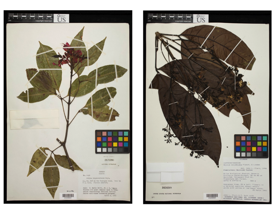 Representative dried, pressed museum specimens of Billia hippicastanum from Mexico (left) and B. rosea from Ecuador (right). Note the red flowers on B. hippocastanum and that the leaves directly underneath the flowering branch are missing (left) or composed of only one leaflet (right). This is contrast to B. rosea, which has white flowers (yellow with age here) and very large-sized leaves below its flowering branch.