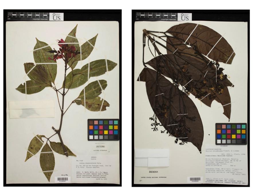 Especímenes representativos de museos de Billia hippicastanum de México (izquierda) y de B. rosea de Ecuador (a la derecha). Observe las flores rojas en B. hippocastanum y que las hojas directamente debajo de la rama floreciente faltan (izquierda) o compuestas de solamente un folleto (derecho). Esto contrasta con B. rosea, que tiene flores blancas (amarillas con la edad aquí) y hojas muy grandes por debajo de su rama floreciente.
