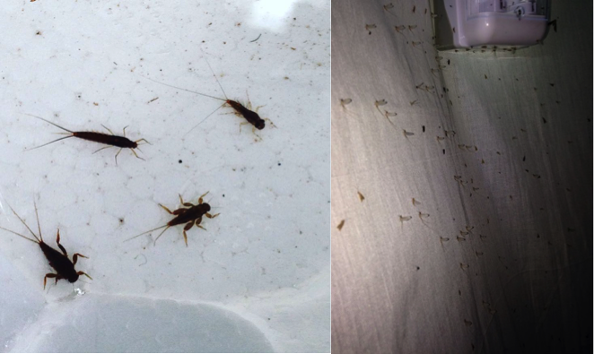 Larvas de Ephemeropteros en colecta de campo y Ephemeropteros subimagos en trampa de luz.