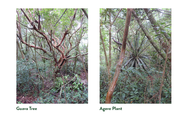 Guava tree, left, and Agave plant, right, being surrounded by secondary growth forest.