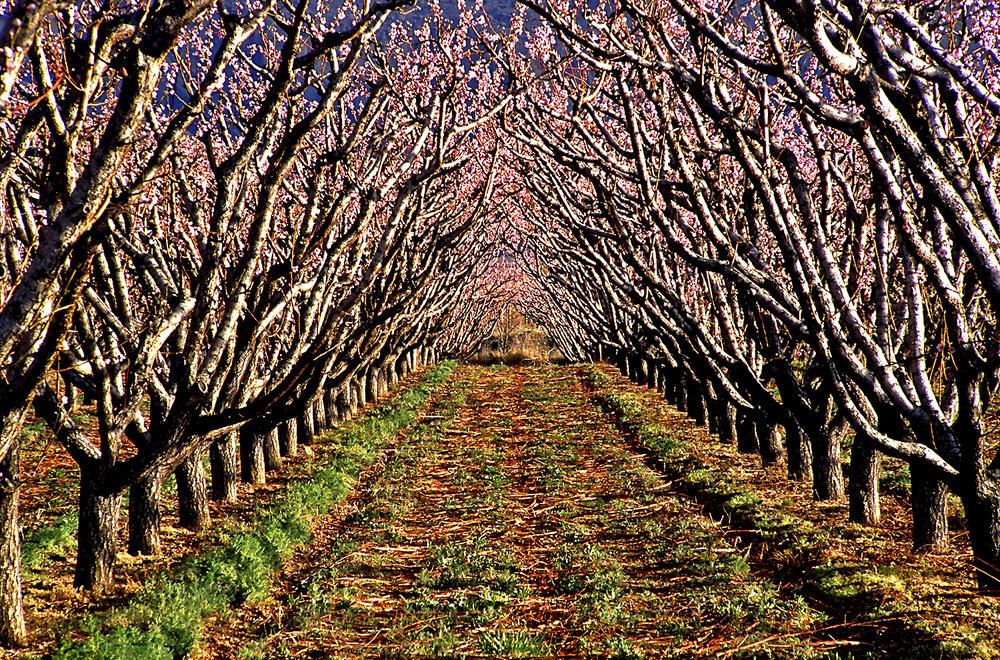 Peach Grove