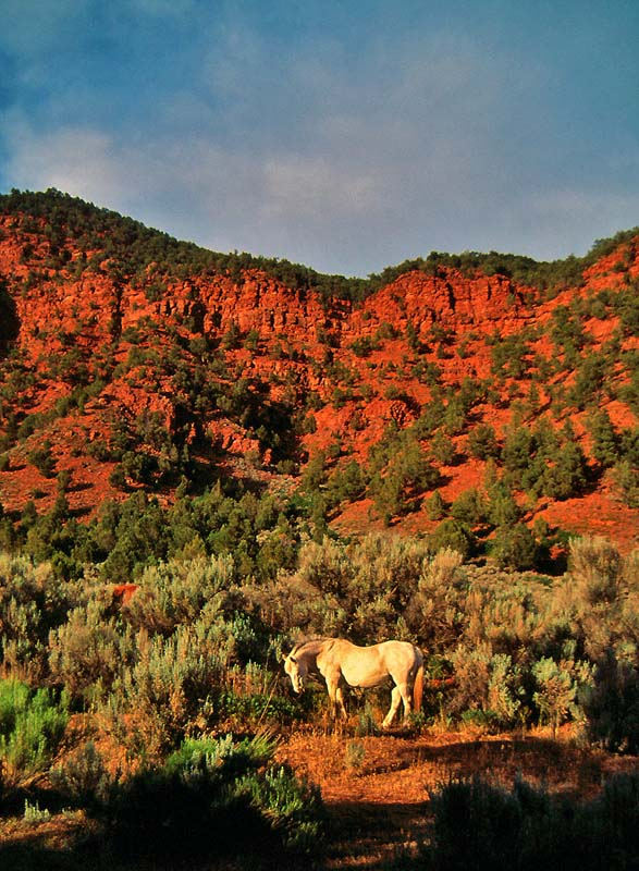 White Stallion Red Cliffs