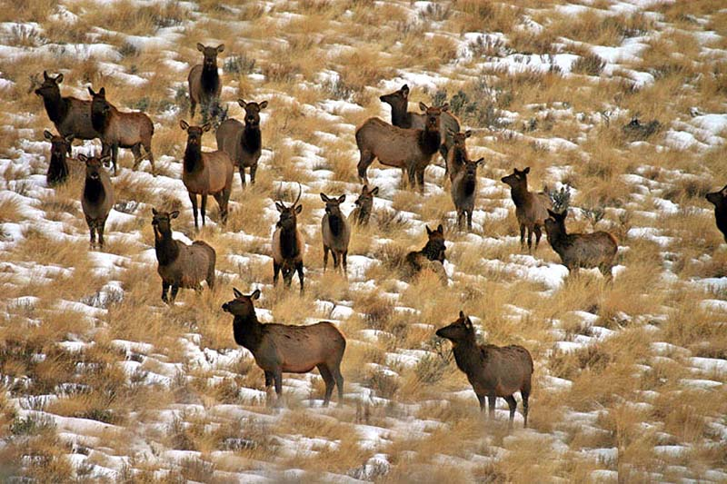 Diamond S Elk Herd