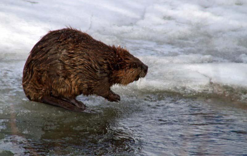 Chuckling Beaver