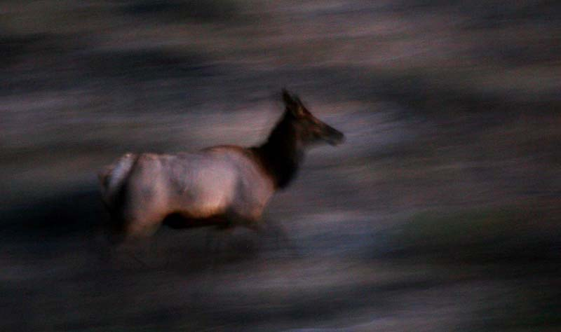 Blurred Elk in Flight
