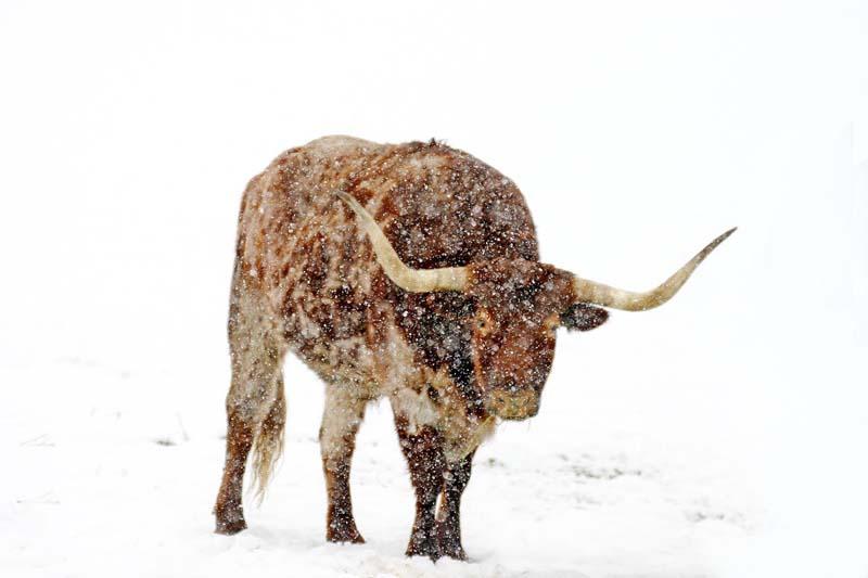 A lot of Bull
