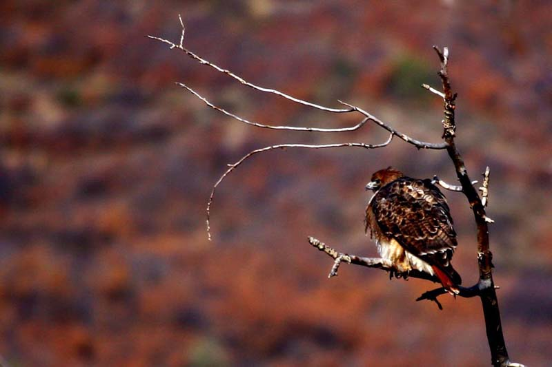 Red Tail Hawk, Fall