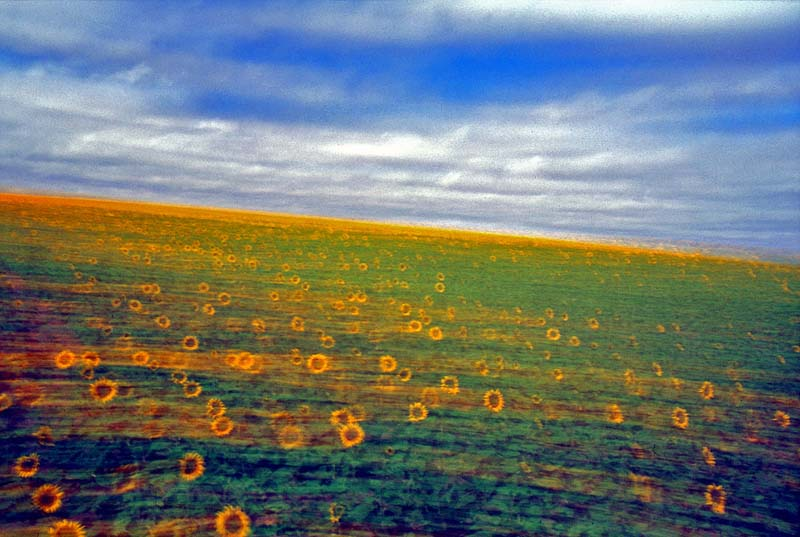 Blurred Sunflowers