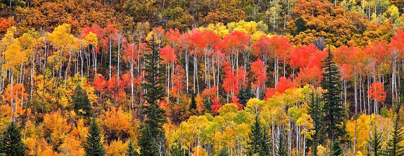 Red & Yellow Aspens